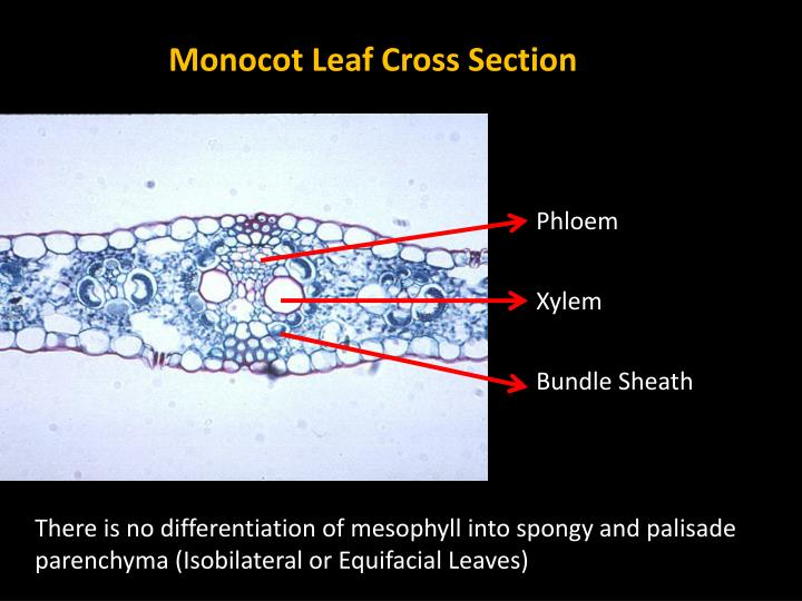 Monocot Leaf Cross Section