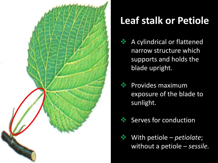 Leaf stalk or Petiole