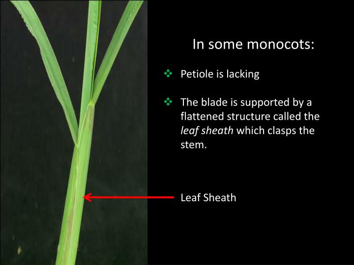 In some monocots: