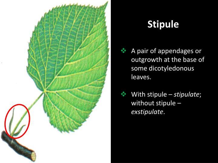 Stipule