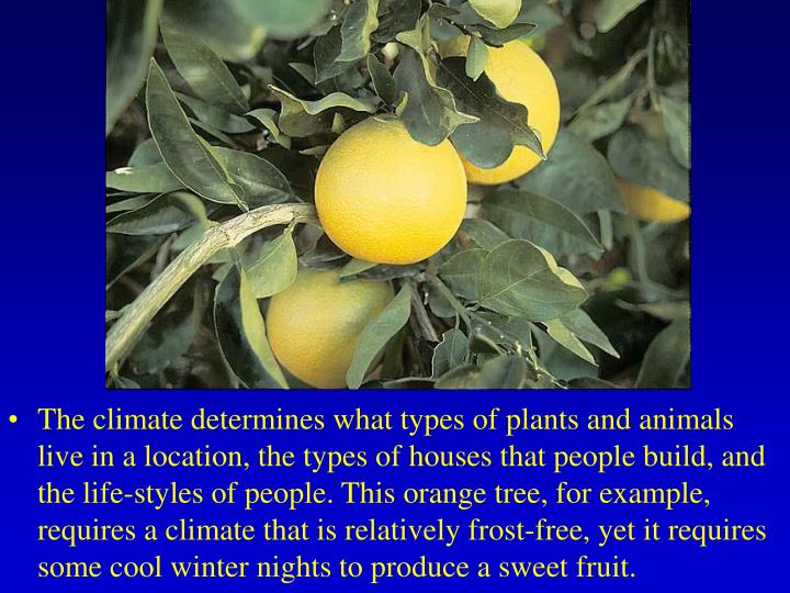 The climate determines what types of plants and animals live in a location, the types of houses that people build, and the life-styles of people. This orange tree, for example, requires a climate that is relatively frost-free, yet it requires some cool winter nights to produce a sweet fruit.