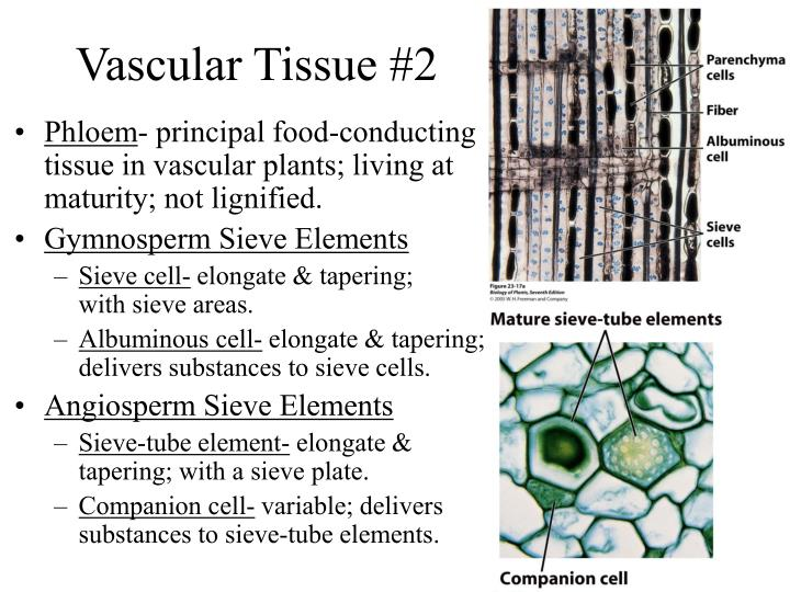 vascular tissues 1 the need for cardiovascular bioprostheticsfor more than 40 years, materials to replace malfunctioning or diseased cardiovascular tissues have been under investigation.