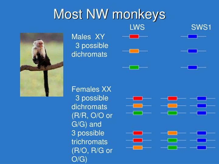 Most NW monkeys