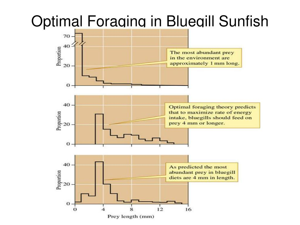 Optimal Foraging in Bluegill Sunfish