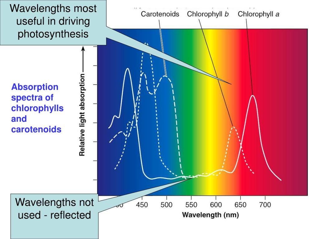 Wavelengths most useful in driving photosynthesis
