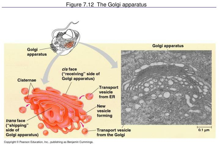 Figure 7.12  The Golgi apparatus
