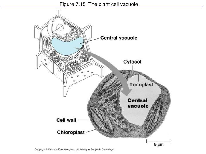 Figure 7.15  The plant cell vacuole