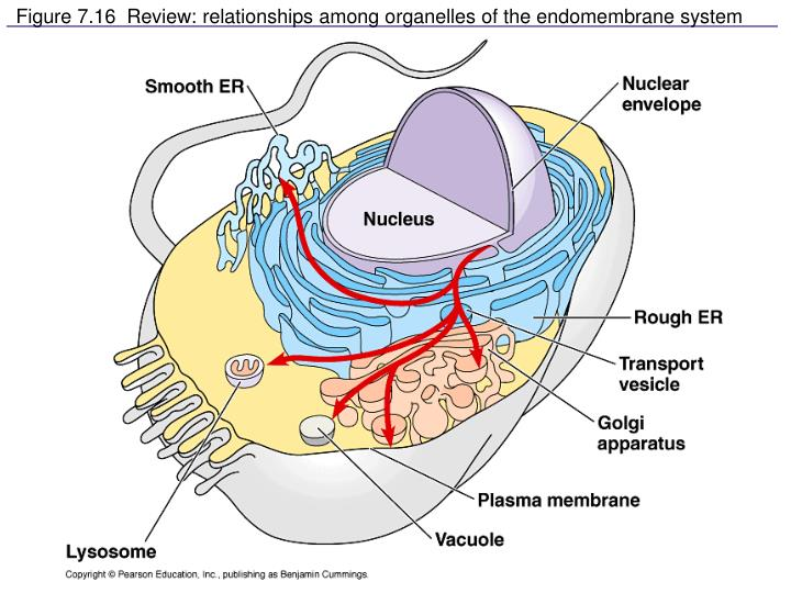 Figure 7.16  Review: relationships among organelles of the endomembrane system