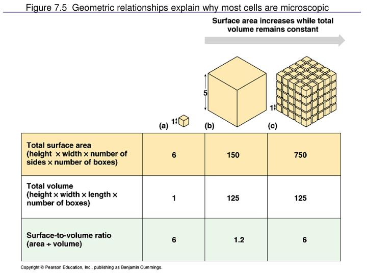 Figure 7.5  Geometric relationships explain why most cells are microscopic