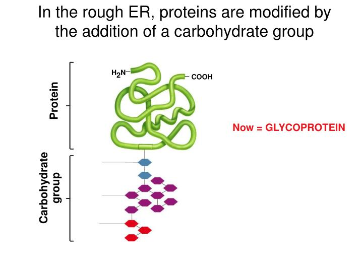 In the rough ER, proteins are modified by the addition of a carbohydrate group