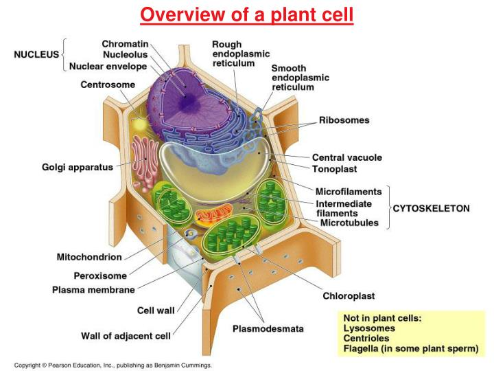 Overview of a plant cell