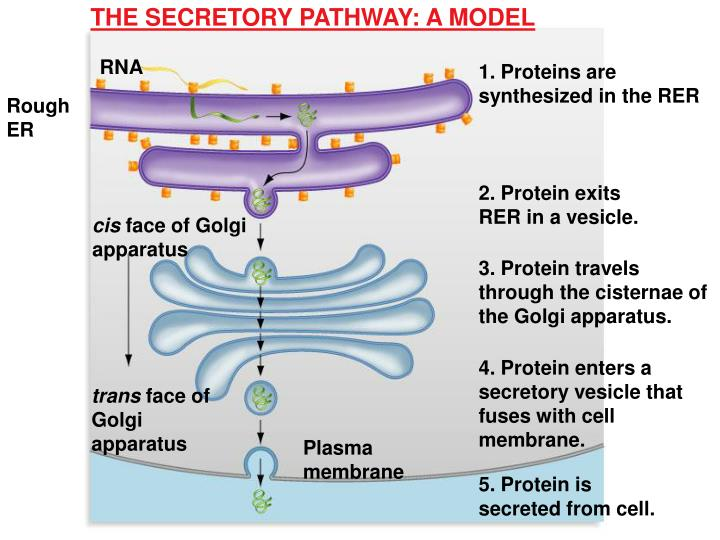 THE SECRETORY PATHWAY: A MODEL