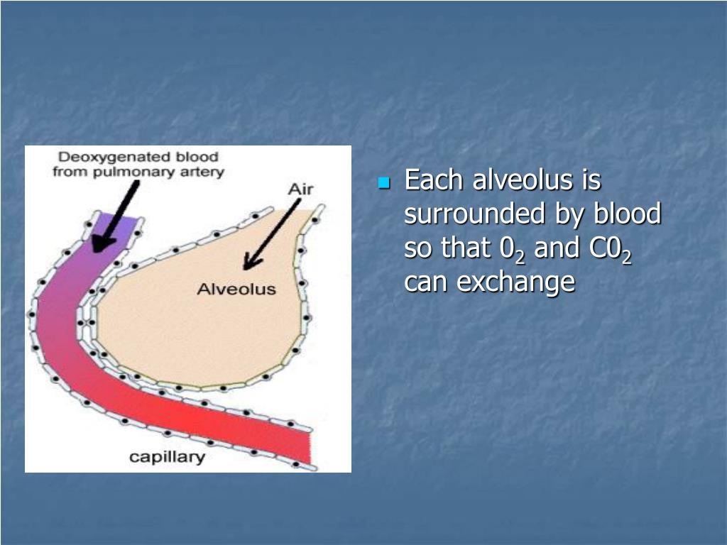 Each alveolus is surrounded by blood so that 0