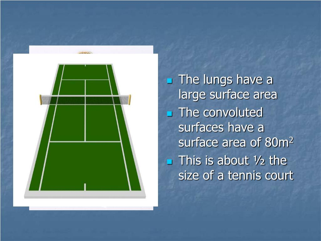 The lungs have a large surface area