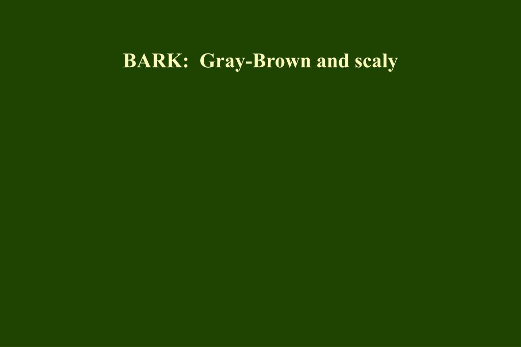BARK:  Gray-Brown and scaly