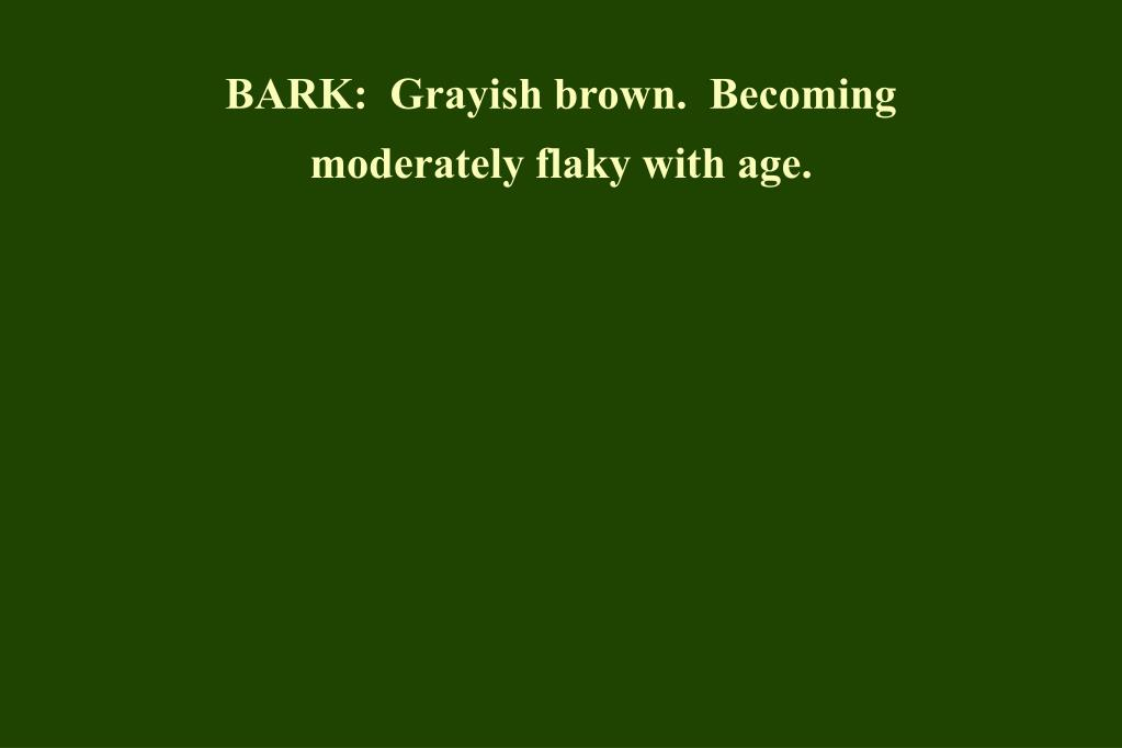 BARK:  Grayish brown.  Becoming moderately flaky with age.