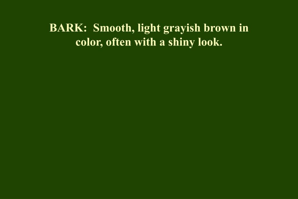 BARK:  Smooth, light grayish brown in color, often with a shiny look.