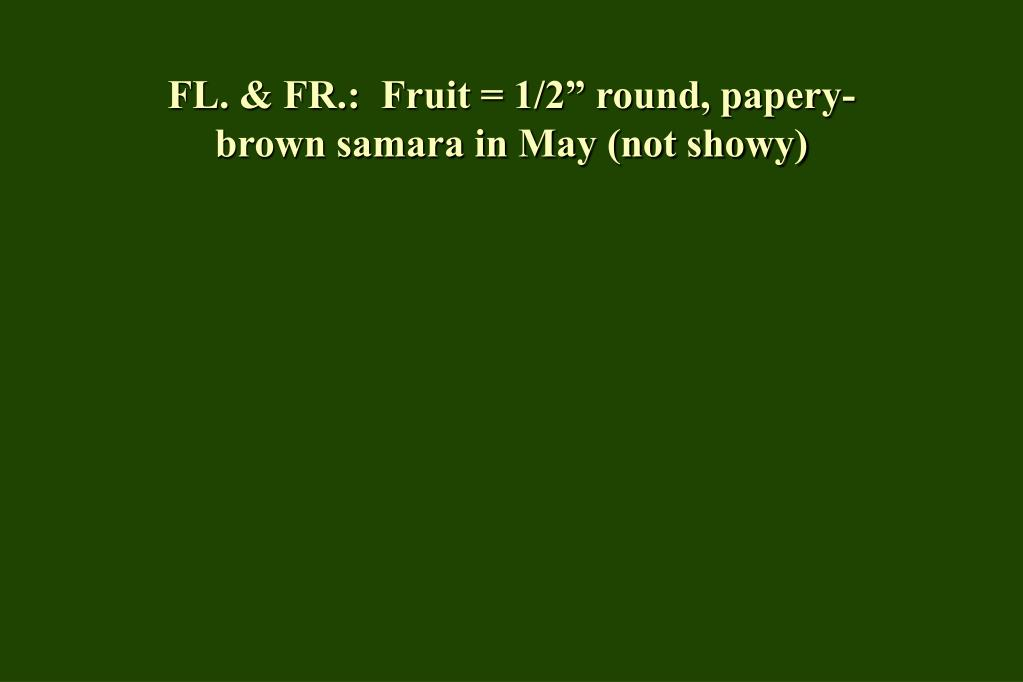 "FL. & FR.:  Fruit = 1/2"" round, papery-brown samara in May (not showy)"