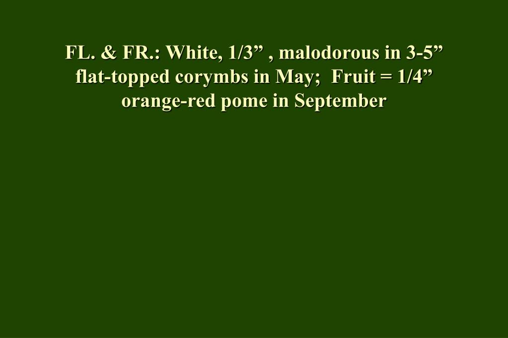 "FL. & FR.: White, 1/3"" , malodorous in 3-5"" flat-topped corymbs in May;  Fruit = 1/4"" orange-red pome in September"