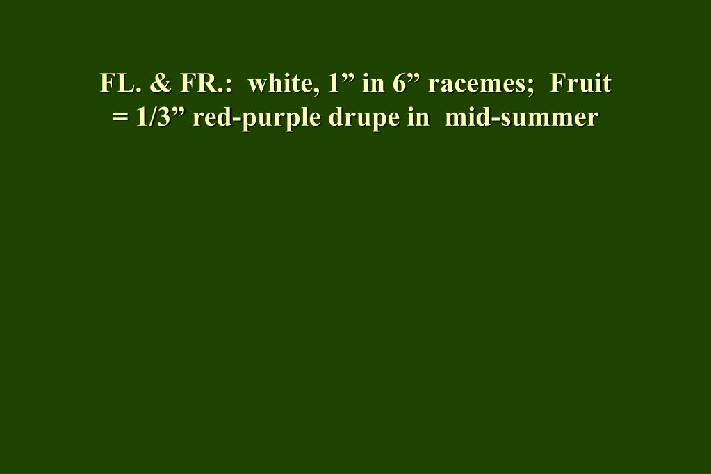 "FL. & FR.:  white, 1"" in 6"" racemes;  Fruit = 1/3"" red-purple drupe in  mid-summer"