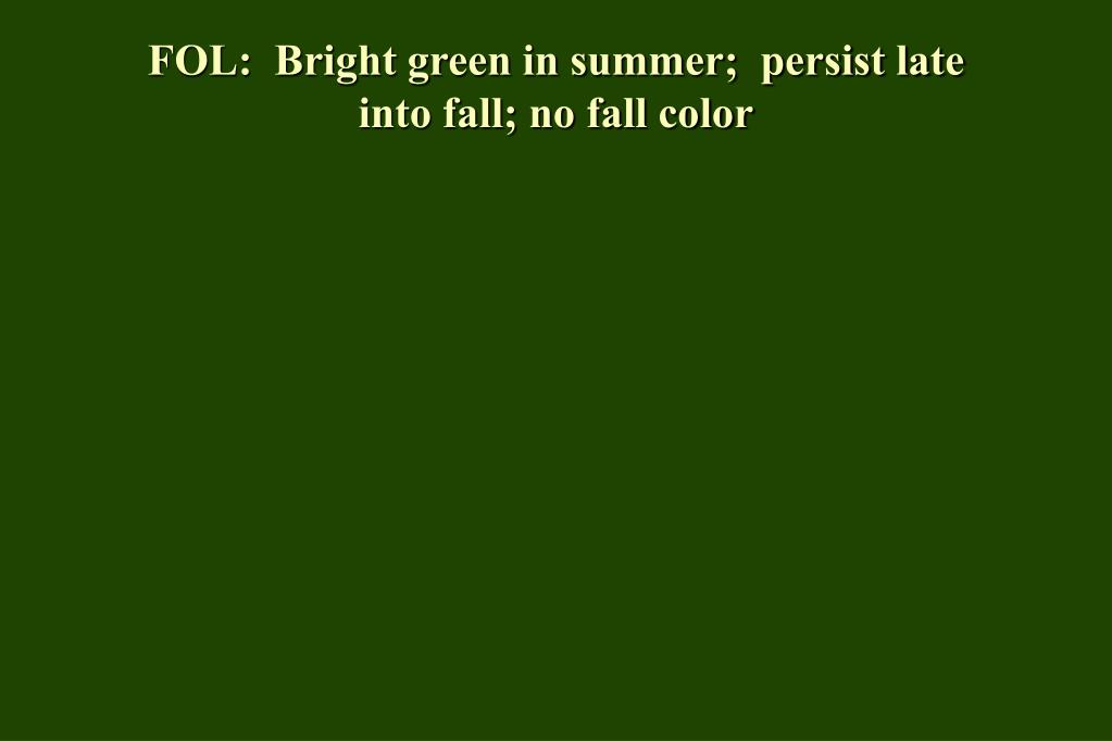 FOL:  Bright green in summer;  persist late into fall; no fall color