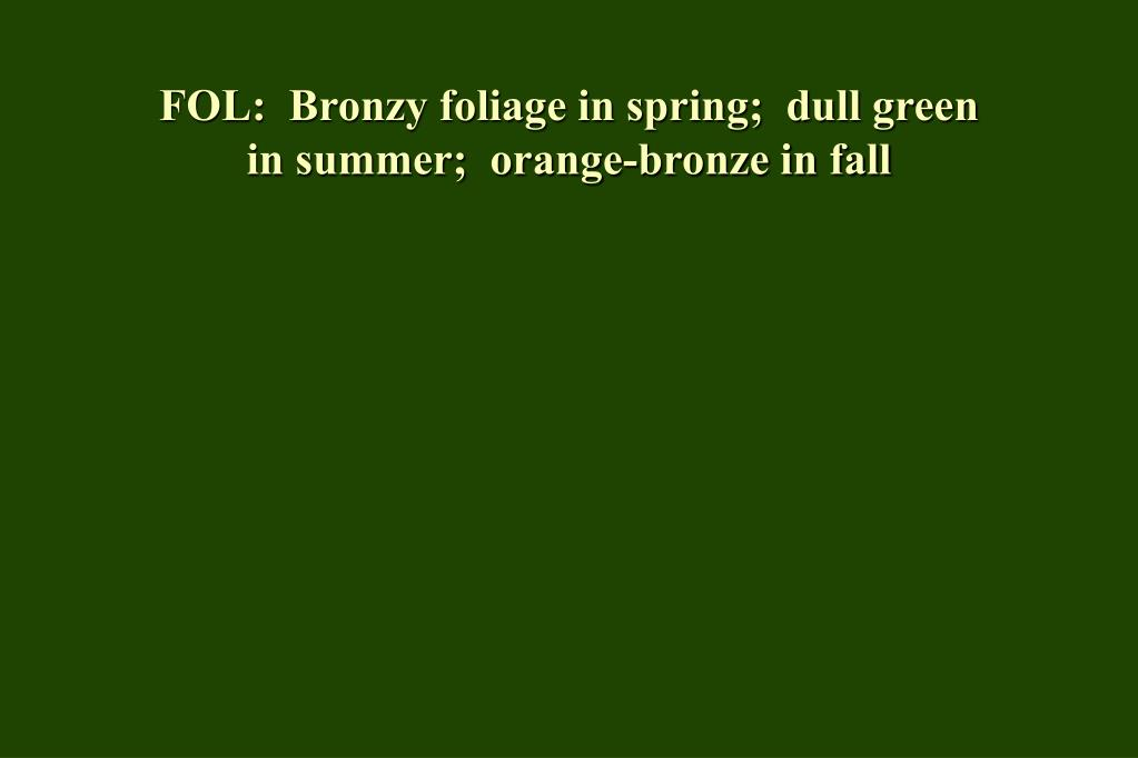FOL:  Bronzy foliage in spring;  dull green in summer;  orange-bronze in fall