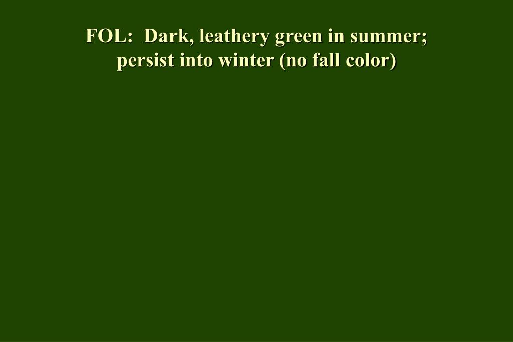 FOL:  Dark, leathery green in summer;  persist into winter (no fall color)