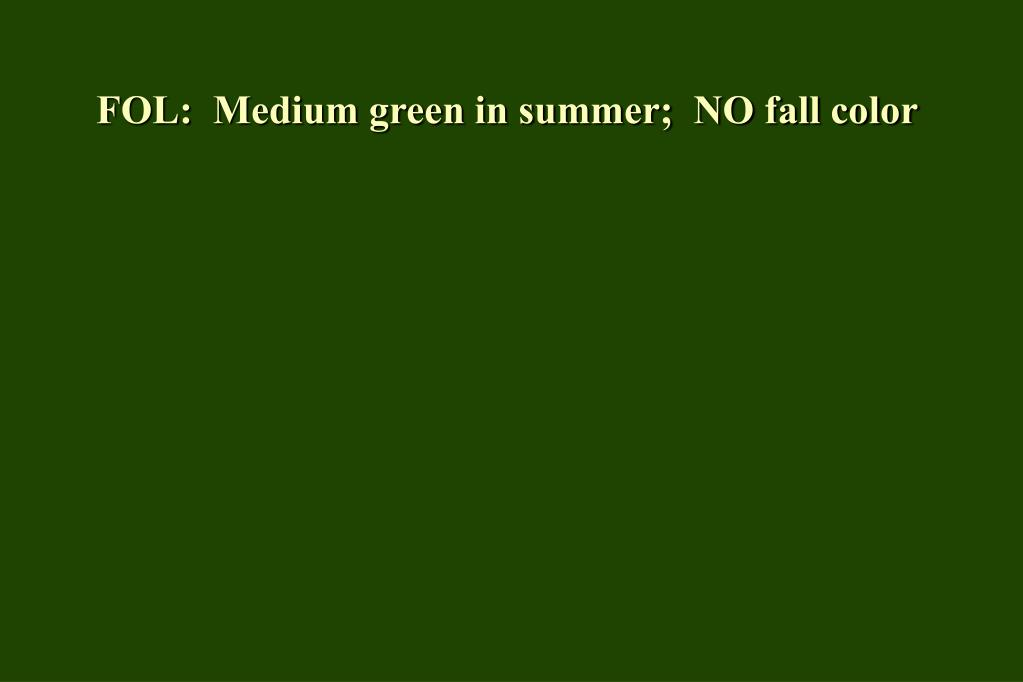 FOL:  Medium green in summer;  NO fall color