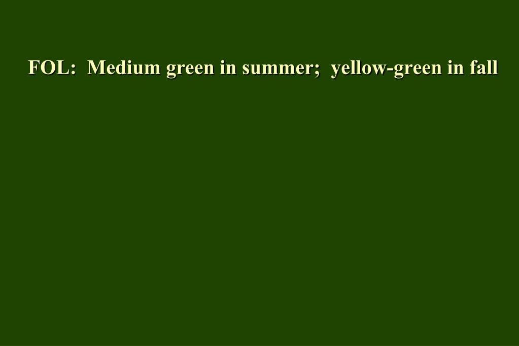 FOL:  Medium green in summer;  yellow-green in fall