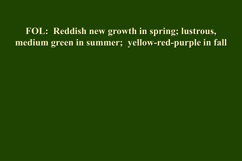 FOL:  Reddish new growth in spring; lustrous, medium green in summer;  yellow-red-purple in fall