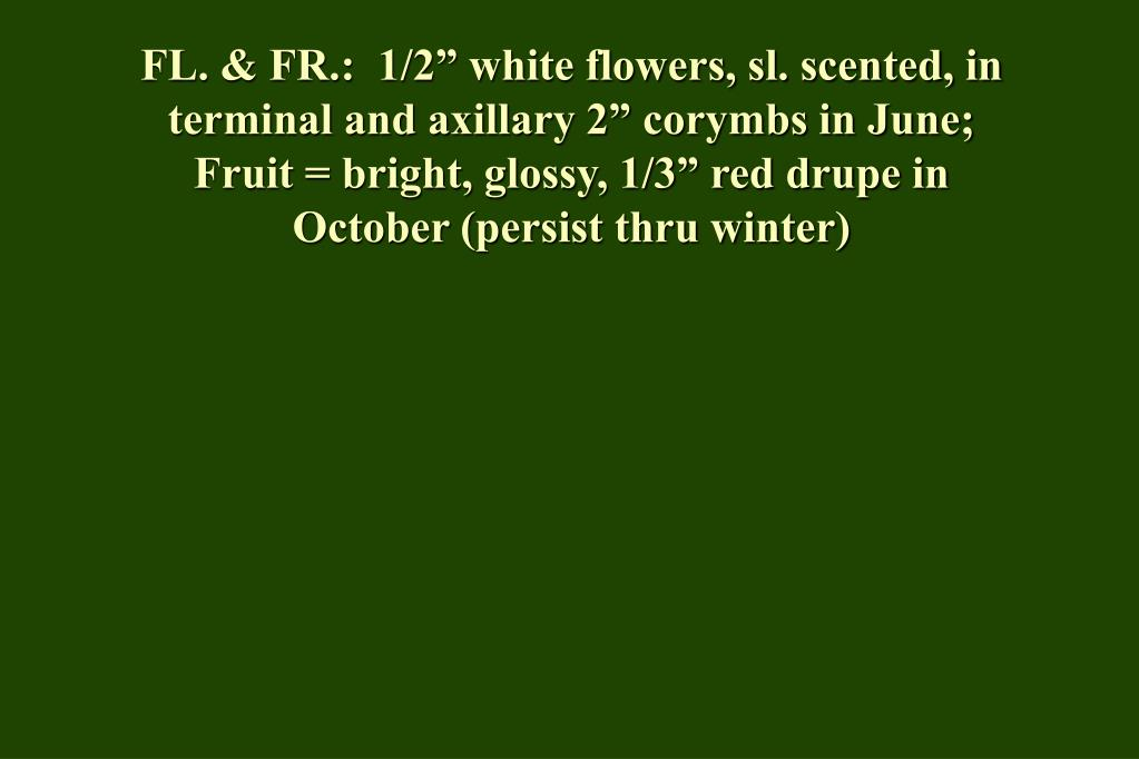 "FL. & FR.:  1/2"" white flowers, sl. scented, in terminal and axillary 2"" corymbs in June;  Fruit = bright, glossy, 1/3"" red drupe in October (persist thru winter)"