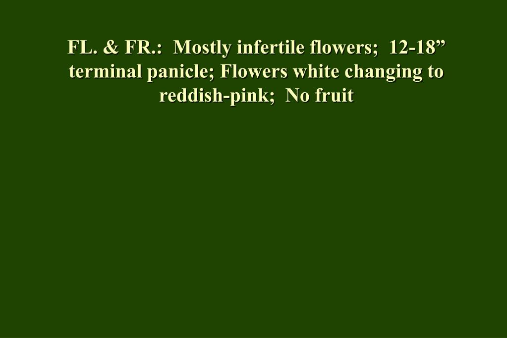 "FL. & FR.:  Mostly infertile flowers;  12-18"" terminal panicle; Flowers white changing to reddish-pink;  No fruit"