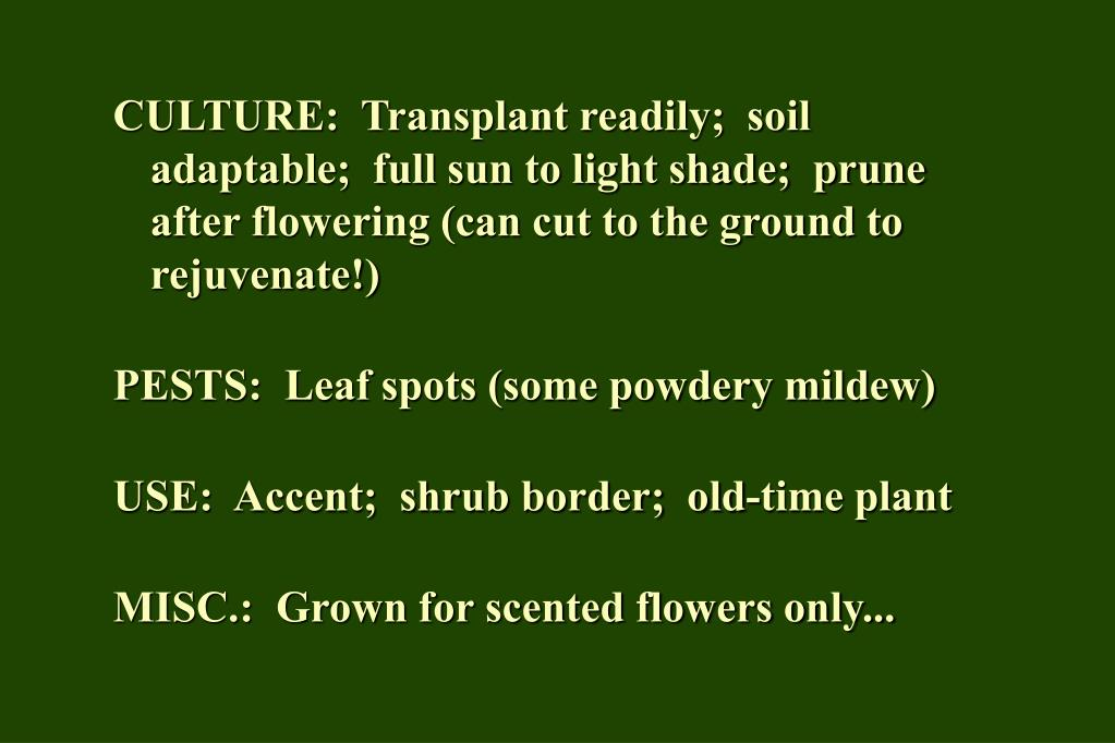 CULTURE:  Transplant readily;  soil adaptable;  full sun to light shade;  prune after flowering (can cut to the ground to rejuvenate!)