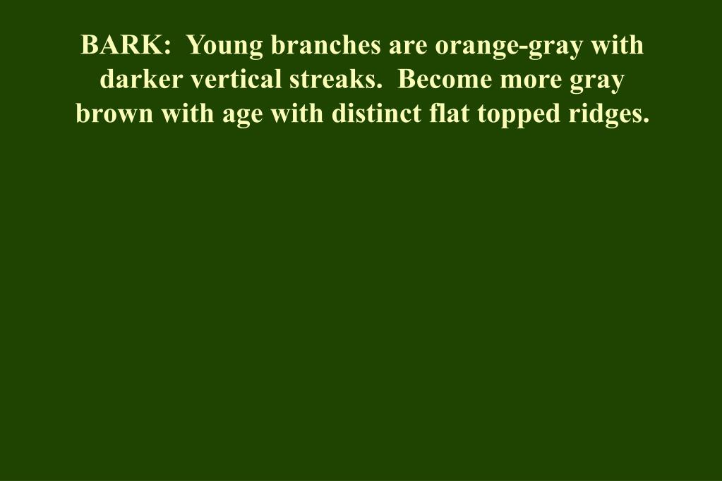 BARK:  Young branches are orange-gray with darker vertical streaks.  Become more gray brown with age with distinct flat topped ridges.