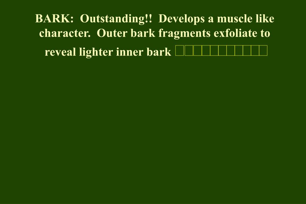 BARK:  Outstanding!!  Develops a muscle like character.  Outer bark fragments exfoliate to reveal lighter inner bark
