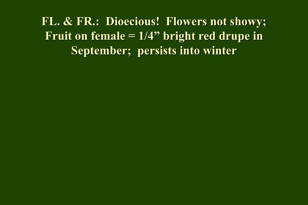 "FL. & FR.:  Dioecious!  Flowers not showy;  Fruit on female = 1/4"" bright red drupe in September;  persists into winter"