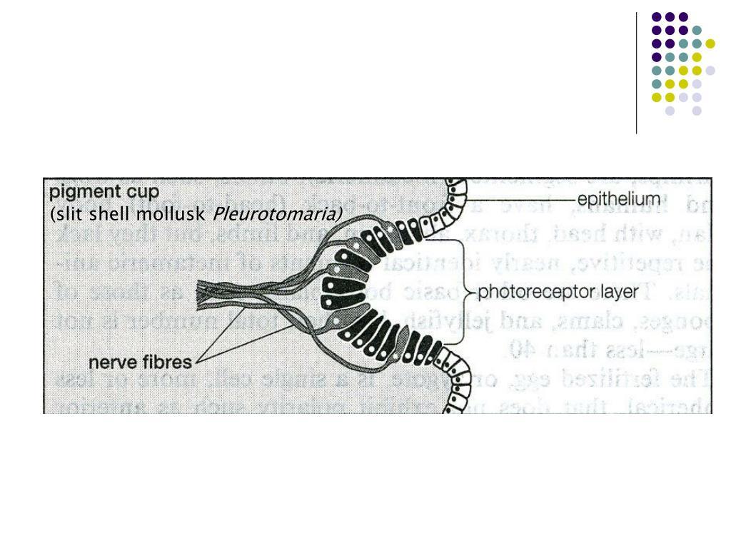 (slit shell mollusk