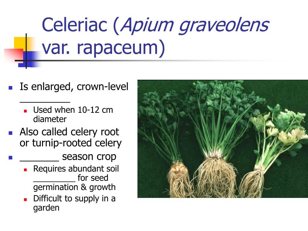 Celeriac (