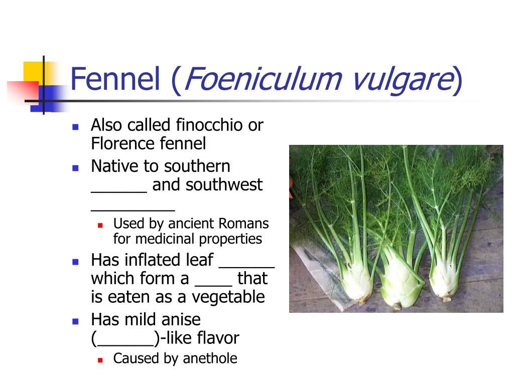 Fennel (