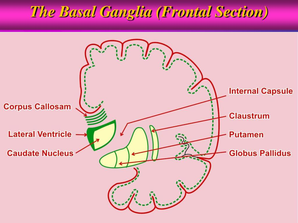 The Basal Ganglia (Frontal Section)
