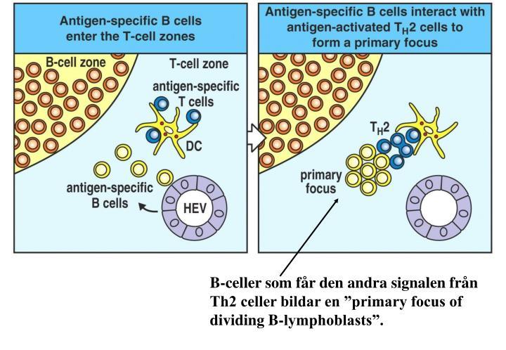 B-celler som får den andra signalen från