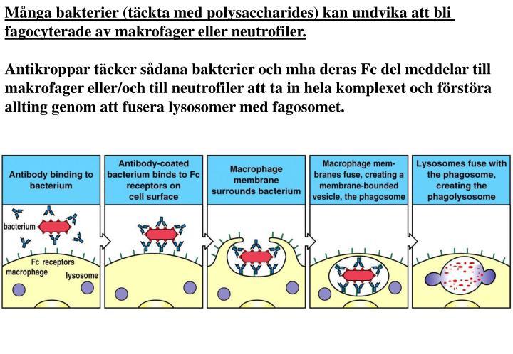 Många bakterier (täckta med polysaccharides) kan undvika att bli