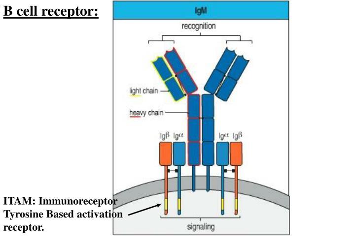 B cell receptor: