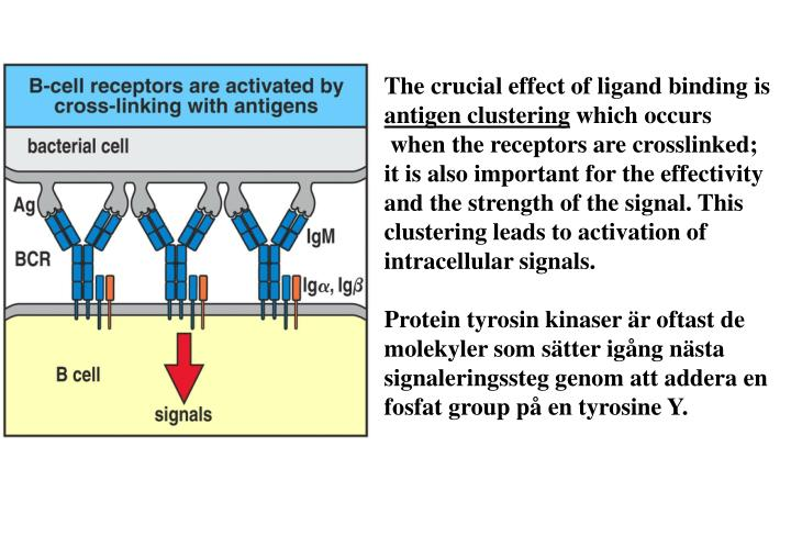 The crucial effect of ligand binding is