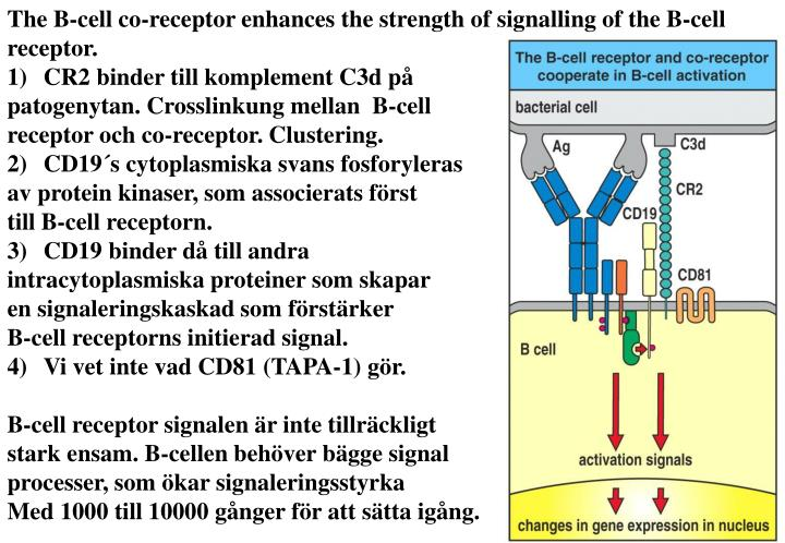 The B-cell co-receptor enhances the strength of signalling of the B-cell