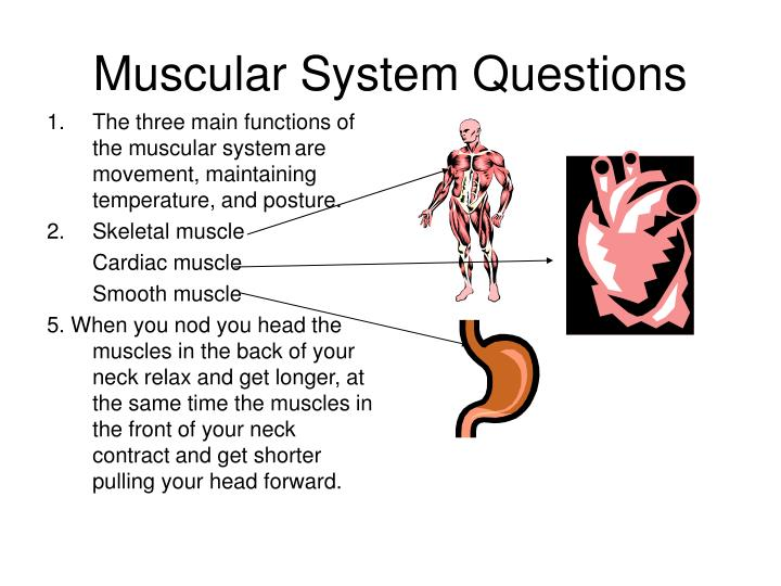 Muscular system questions