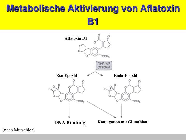 Metabolische Aktivierung von Aflatoxin B1