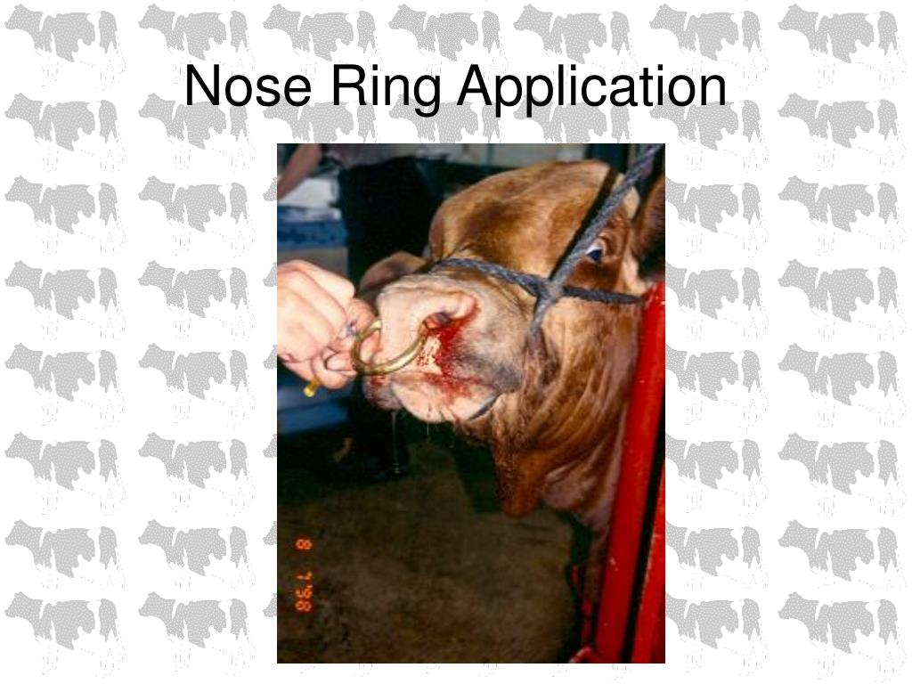 Nose Ring Application