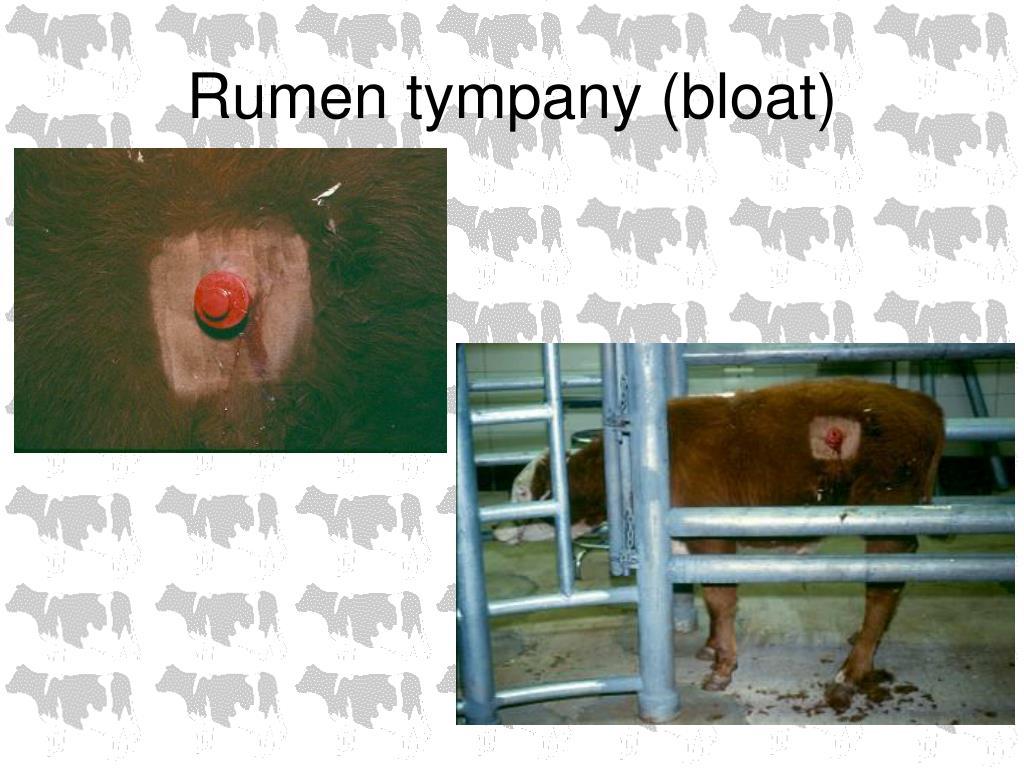 Rumen tympany (bloat)