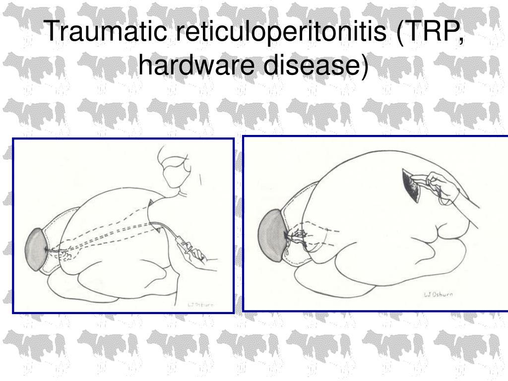 Traumatic reticuloperitonitis (TRP, hardware disease)